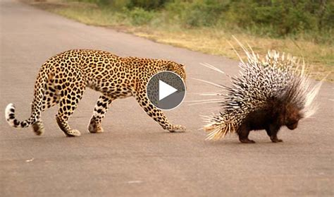 attacked by porcupine human porcupine attack www pixshark images galleries with a bite