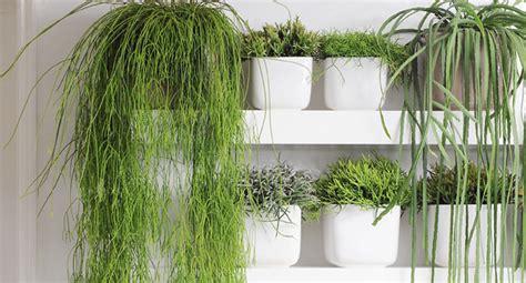 plante interieure tombante