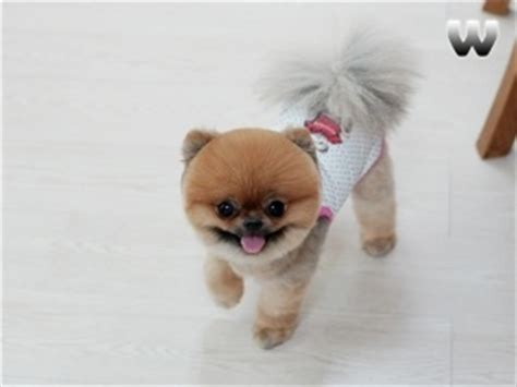 teacup pomeranian boo for sale 21 best images about beautiful pomeranian haircuts on cutest dogs