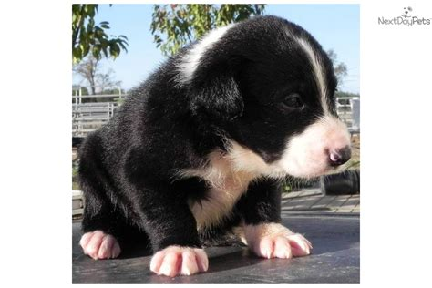 mcnab puppies for sale purebred mcnab black and white mcnab puppy for sale near chico california
