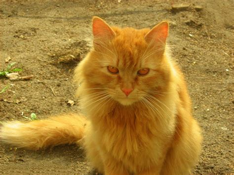 light brown yellow brown eyes cats hd wallpapers beautiful pictures photos