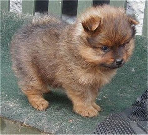 light brown pomeranian light brown pomeranian puppy jpg 1 comment