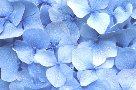wallpaper blue hydrangea blue hydrangea wallpaper wallpapersafari