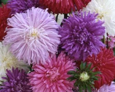 Bibit Bunga Aster bibit bunga ostrich aster