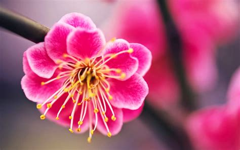 wallpaper bunga sakura untuk hp kumpulan gambar bunga sakura pilihan sangat cantik dan