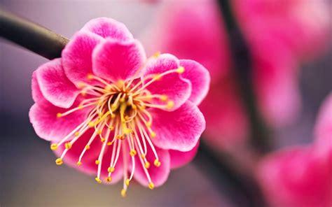Kumpulan Gambar Bunga Sakura Pilihan, Sangat Cantik dan