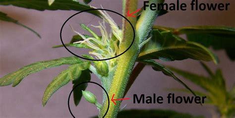 Indoor Flowering Plants by Autoflower Hermaphrodite