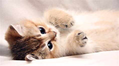 computer wallpaper kittens kitten desktop backgrounds wallpaper high definition