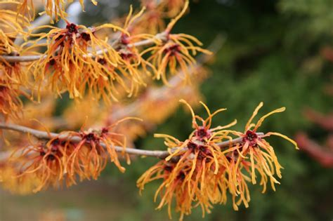 Black Gold Which Witch Hazel Should You Grow?   Black Gold