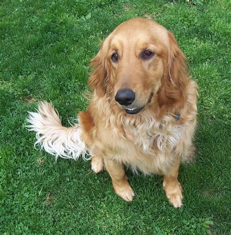 gold golden retriever rescue dolly gh 831 goldheart golden retriever rescue