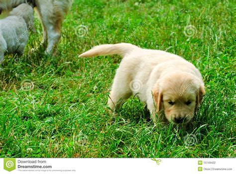 golden retriever grass golden retriever puppy in the grass stock photography image 15149422