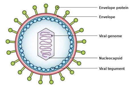 diagram of a typical virus labeled virus diagram diagram site