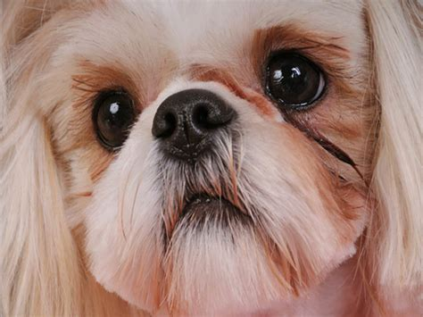 shih tzu eye my shih tzu has eye problems syndromes and infection treatment