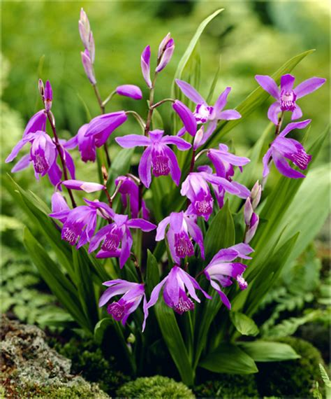 orchidea da giardino bletilla striata quot purple quot orchidea jacinthina bletilla