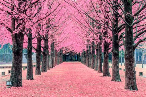 top 10 pictures of trees for day pink tree nami island in korea pink tree nami island in