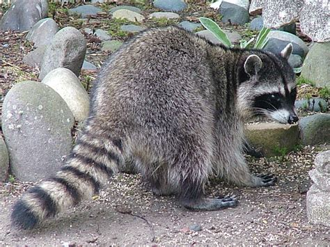 raccoon and northern raccoon willapa u s fish and wildlife service