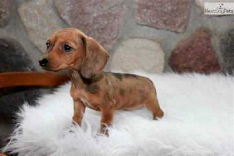 dachshund puppies mn dachshund dapple www imgkid the image kid has it