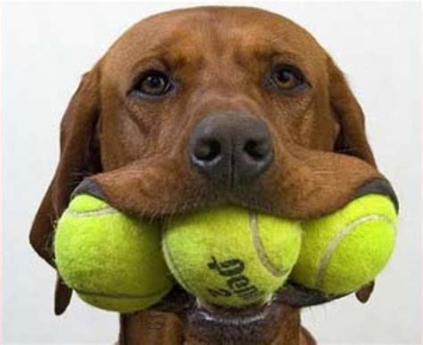 tennis balls for dogs 5 sports that dogs enjoy the alpha