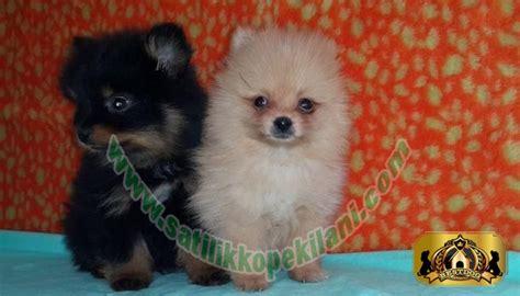 pomeranian fiyat satılık boo yavru ilanları 05412625853