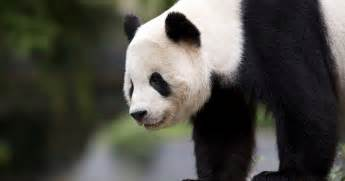 www panda panda bao bao heading to china in 2017