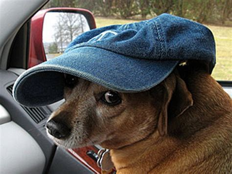 dogs wearing hats pictures of dogs wearing hats