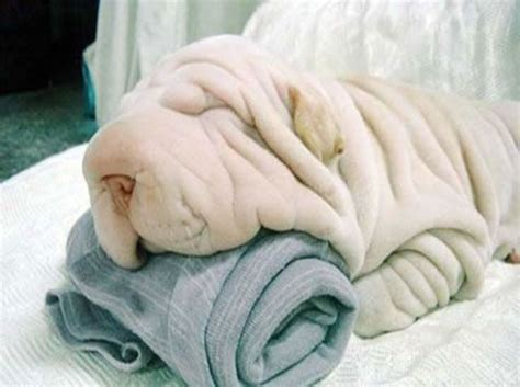sharpay puppy shar pei a with wrinkles