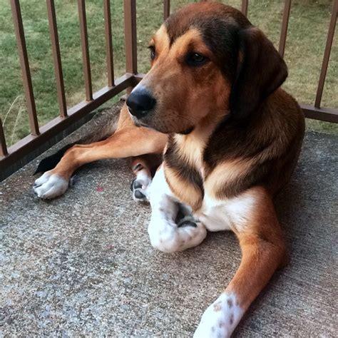 blue tick hound golden retriever mix redbone coonhound blue heeler mix breeds picture
