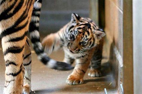 gambar harimau  lucu ayeeycom