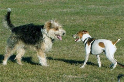 how to introduce two dogs how to introduce two dogs tip do it before bringing the second home the