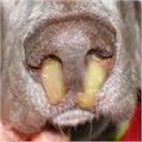 nasal discharge nasal discharge in dogs and cats causes and diagnosis of nasal discharge