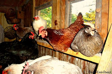 everything you need to about chicken roosting bars