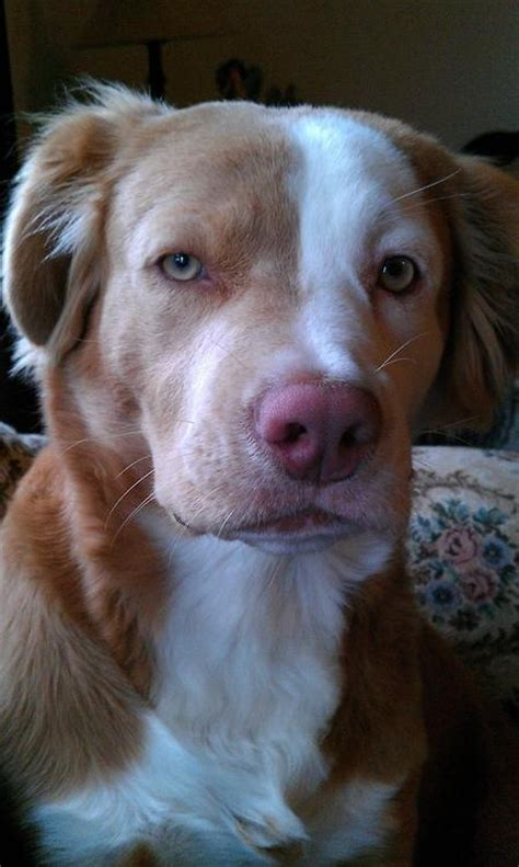 golden retriever mixed with pitbull pit bull history
