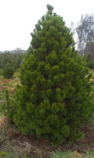 pine meadows christmas tree farm gallery meadow farm galway trees galway trees