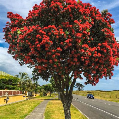 best real christmas tree nz 94 best pohutukawa new zealand s tree images on tree