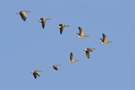 on the wing travels with the songbird migration of books why birds fly in a v formation by exploiting aerodynamics