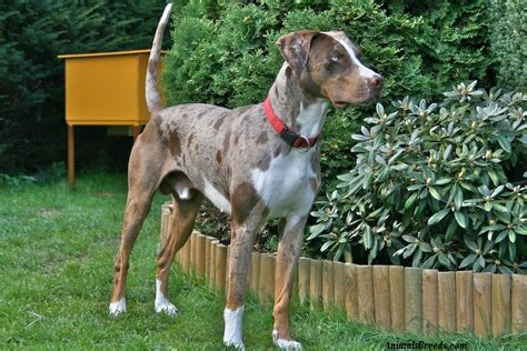 catahoula puppy catahoula leopard puppies rescue pictures information temperament
