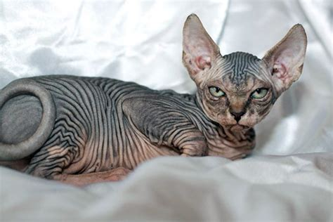What would hairless furries look like, and which one would