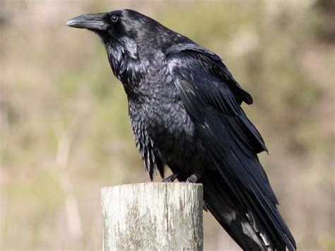 raven crow or grackle how to tell the difference your