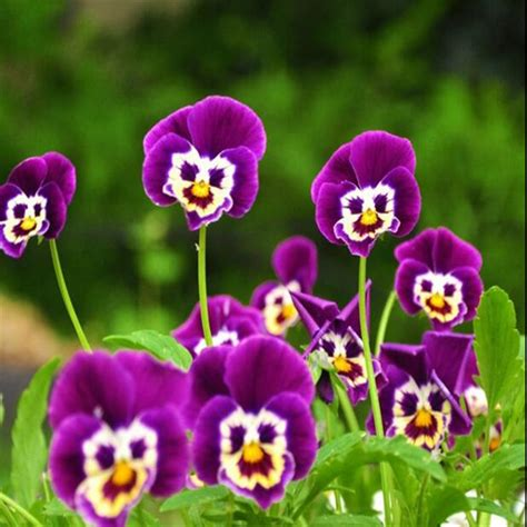 Sale Pot Bunga Mini tanaman bunga pansy beli murah tanaman bunga pansy lots
