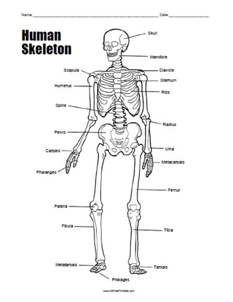 anatomy and physiology coloring workbook answers skeletal activity free printable human skeleton worksheet all free