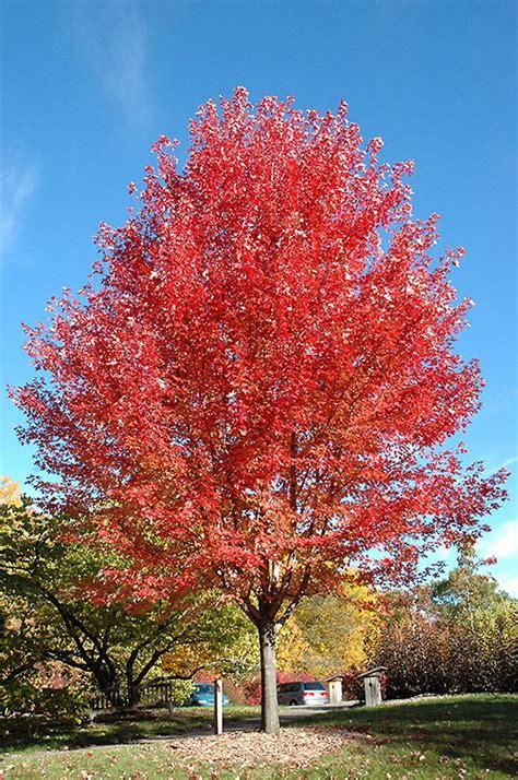 maple tree width autumn blaze maple acer x freemanii jeffersred in burlington waterdown dundas ontario