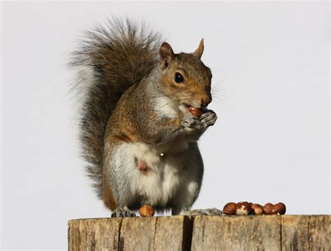 squirrels preventing damage st georges pest control