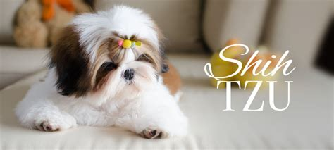 shih tzu breeders miami shih tzu puppies for sale in miami shih tzu shih tzu puppies shih tzu for sale