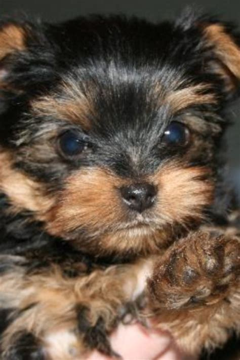 teddy bear cut for teacup yorkie 17 best images about teacup puppies on pinterest teacup