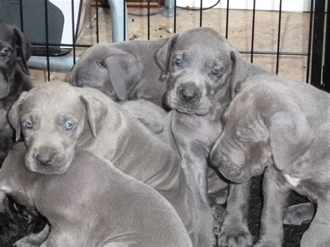 great dogs for great dane puppies for sale chorley lancashire pets4homes
