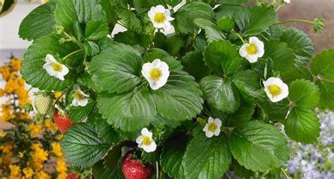 pianta di fragola in vaso fragole in vaso alberi da frutto coltivare in vaso le