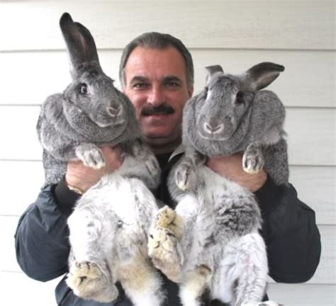 what is the largest breed of largest rabbit breed breeds picture
