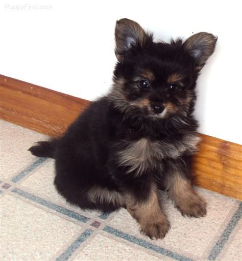 yorkie pomeranian mix hypoallergenic 17 best images about puppy on chihuahuas last and carrier