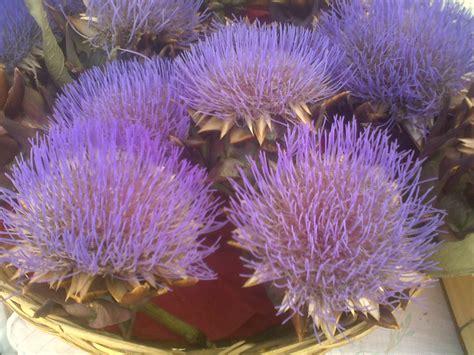 fiori di carciofo sant erasmo isole in rete