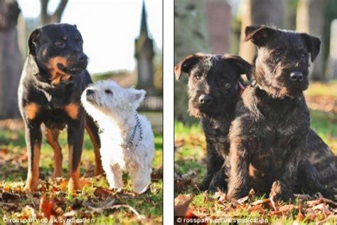 rottweiler breeders west west highland terrier and rottweiler puppies